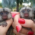 2 Baby Marmosets For Sale