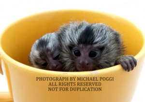 Marmosets in a cup