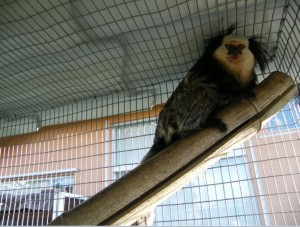 GEOFFREY MARMOSET FOR SALE