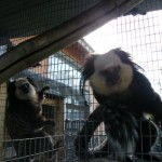 GEOFFREY MARMOSETS FOR SALE