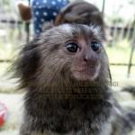 Baby Marmoset