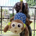 Baby Marmoset playing