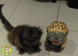 Baby Marmoset for sale
