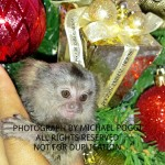 Christmas marmoset