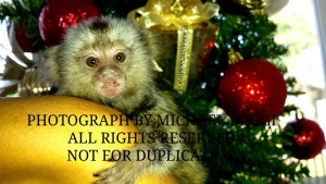 Christmas marmoset