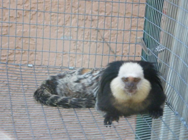 Geoffrey marmoset baby for Baby carp for sale