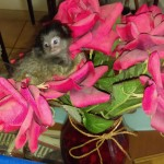Baby Marmoset in roses