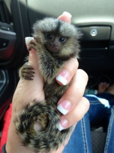 Marmoset for sale in Florida