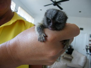 pocket monkey finger monkey for sale