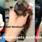 Marmoset moneys for sale