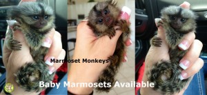 Marmoset moneys for sale