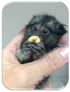Baby Marmoset for sale in Florida