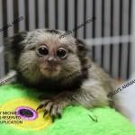 Common baby marmoset