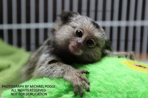 Marmoset going to sleep